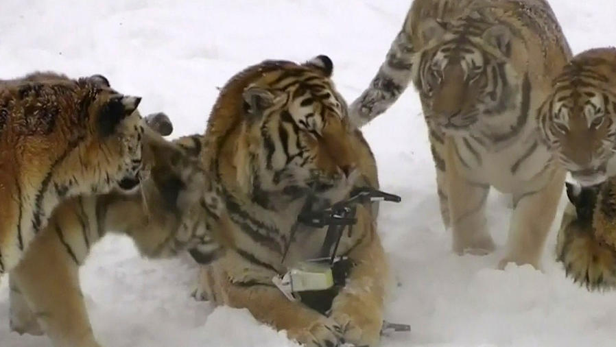 tigre derrumba dron