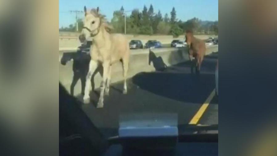 caballos siembran caos
