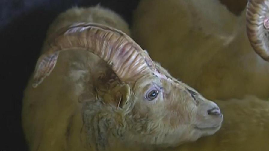 carnero unicornio