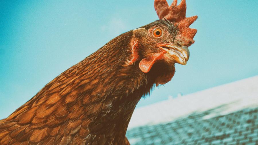 Una gallina predice resultados del Mundial