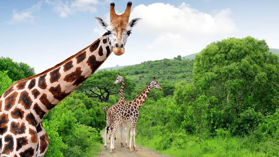 Animal jirafas