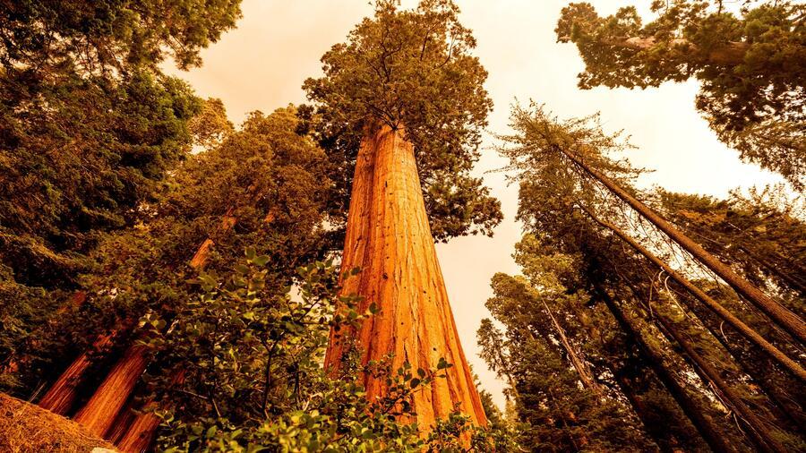 """Los incendios forestales de California destruyen los """"Cuatro Guardianes"""" del bosque de secuoyas"""