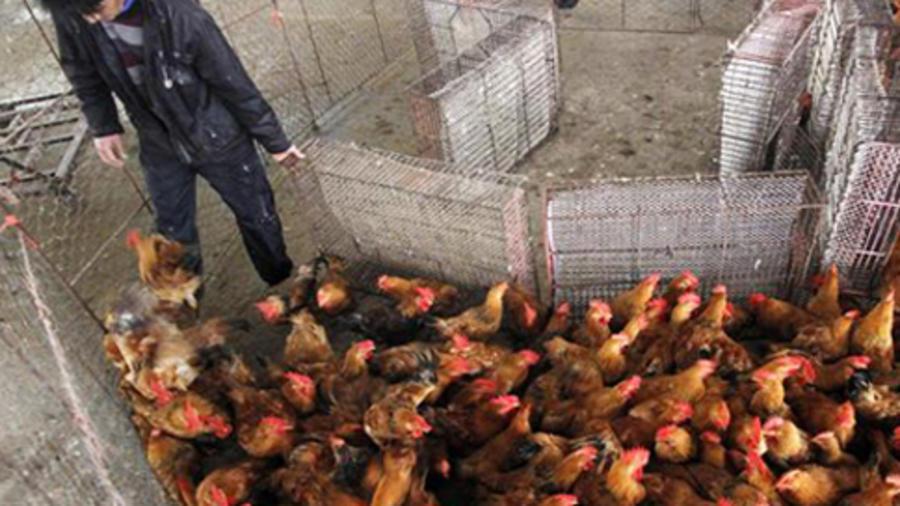 Alerta máxima por brote de gripe aviar en el mundo