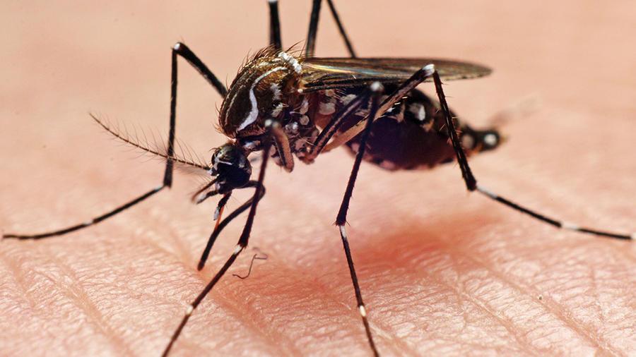 mosco-dengue