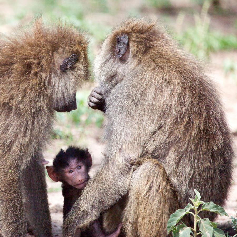 grupo babuinos