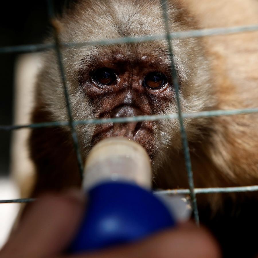 Pequeño mono tomando una bebida