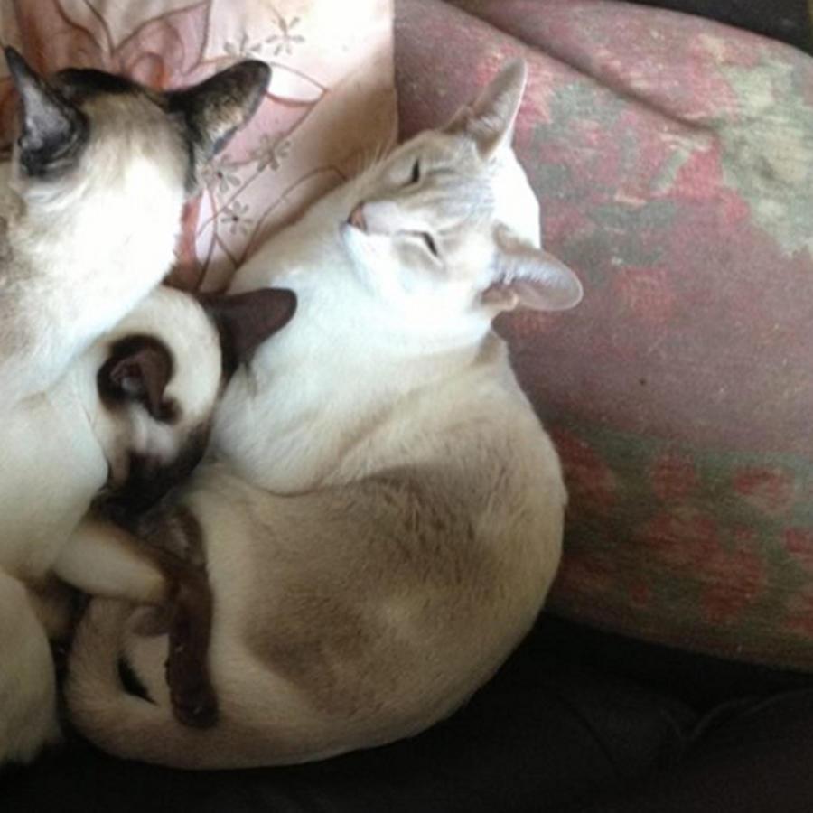 La gata siamés 'Cupcake' - a la derecha- espera a sus dueños junto a otros gatos en la clínica veterinaria Grove Lodge Vets