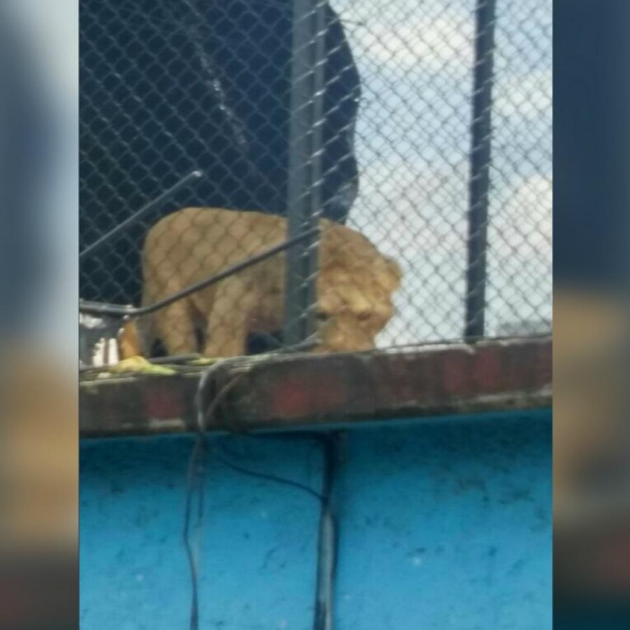 Cachorro de león es rescatado de una azotea.