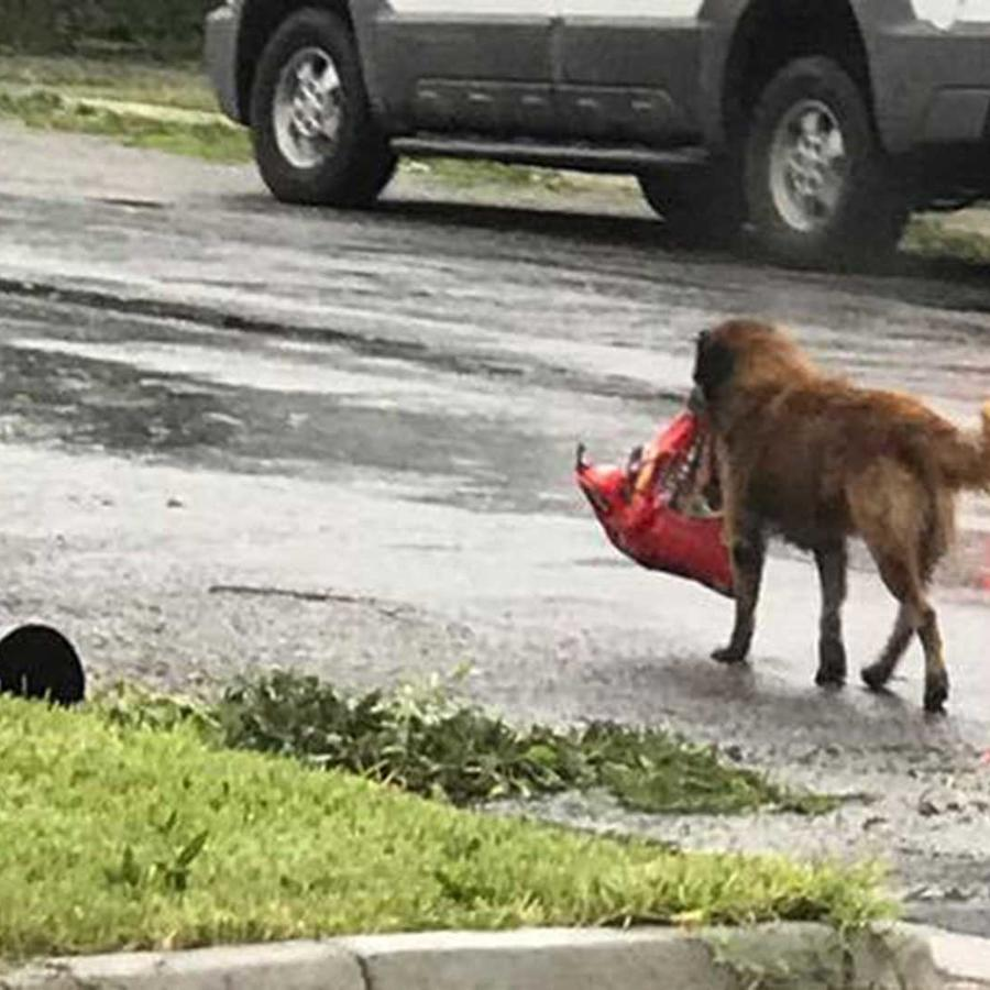 El perro Otis cargando una bolsa de comida y volviendo a casa después de la llegada de Harvey a Texas