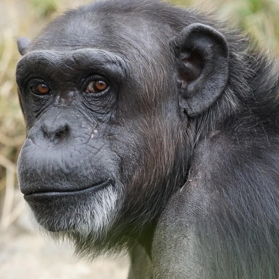 Dangerous Mammal Chimpanzee