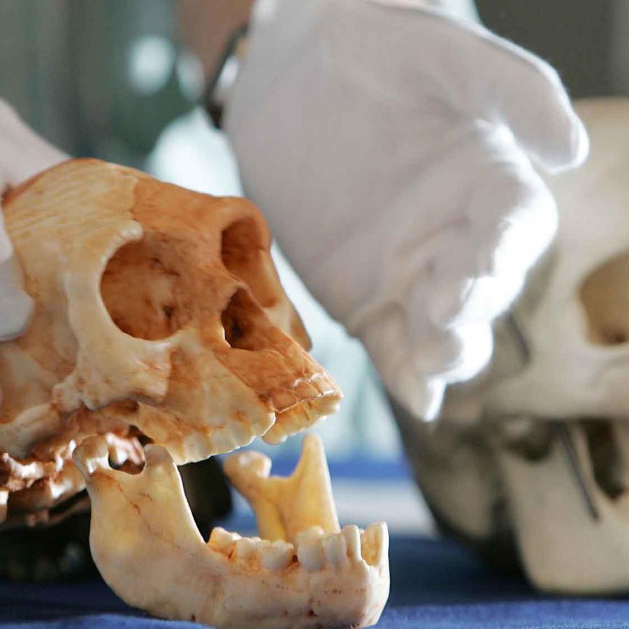 Expertos muestran cráneos de Homo Sapiens