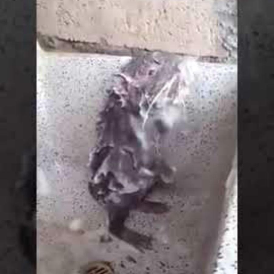 rata bañándose