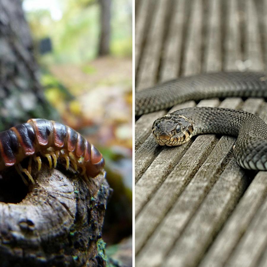 El video capturado en Vietnam muestra al reptil y al impresionante insecto pelear a muerte durante aproximadamente tres minutos.