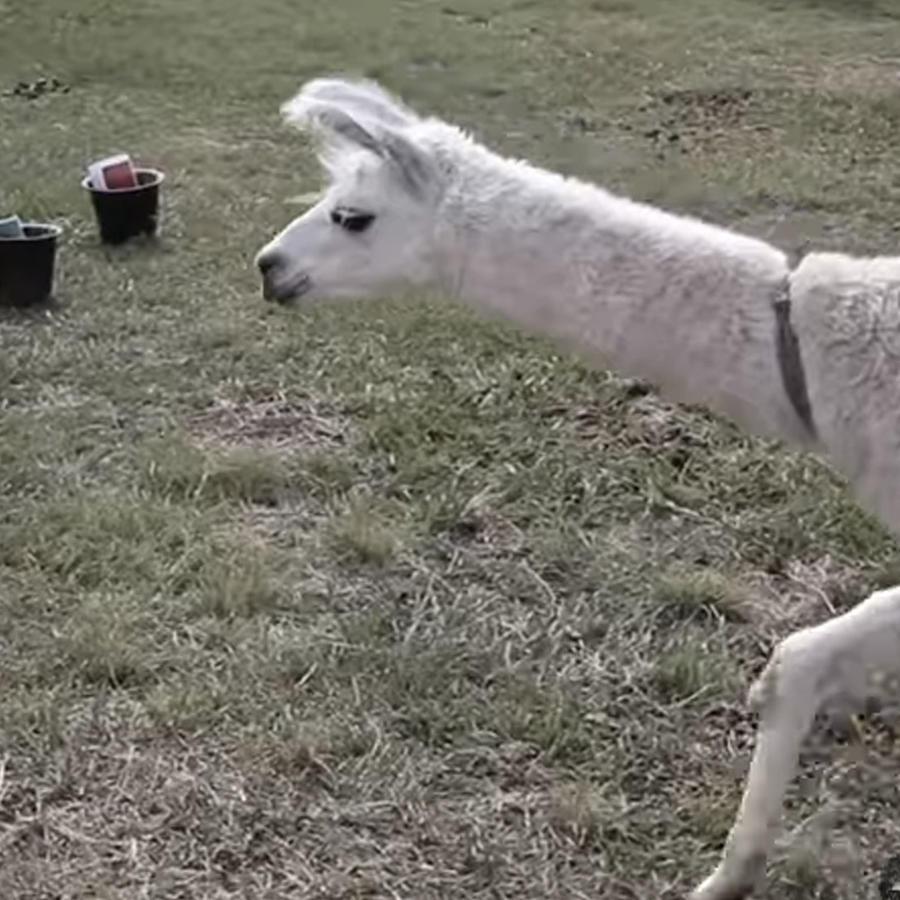 Llama Wendy