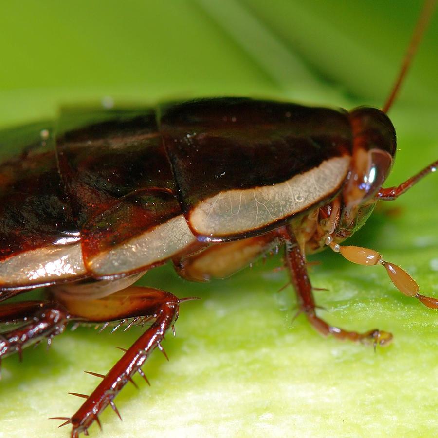 Aseguran que cierto tipo de cucaracha produce una leche con muchas proteínas