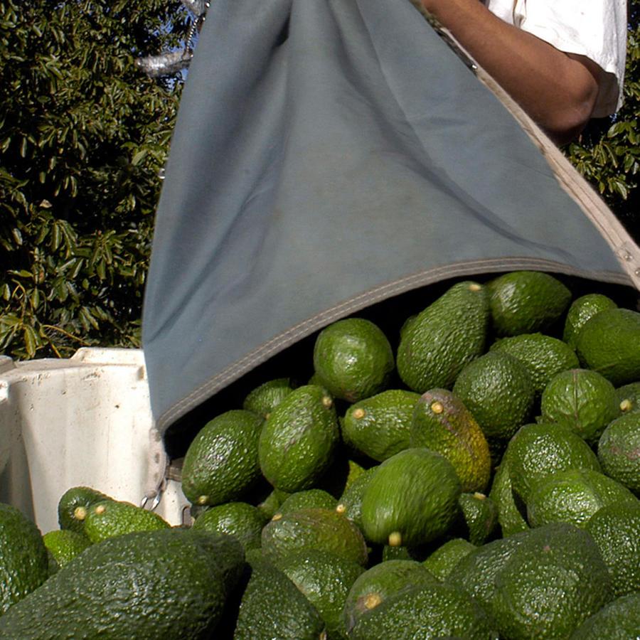 Aguacates mexicanos de Michoacán en una imagen de archivo