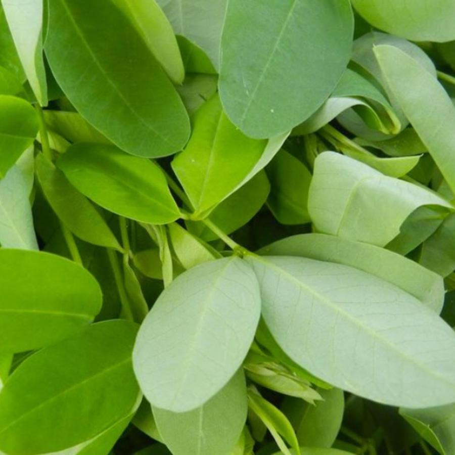Una foto del quelite, nombre común de varias hierbas silvestres comestibles, cuando están tiernas.