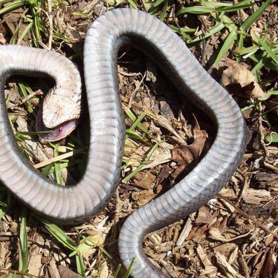 Serpiente zombie en Carolina del Norte