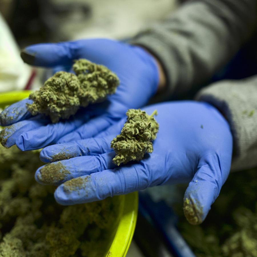 En esta fotografía del 4 de abril de 2019, un trabajador muestra en Gardena, California, cogollos frescos de marihuana recientemente manicurados para su posterior venta.