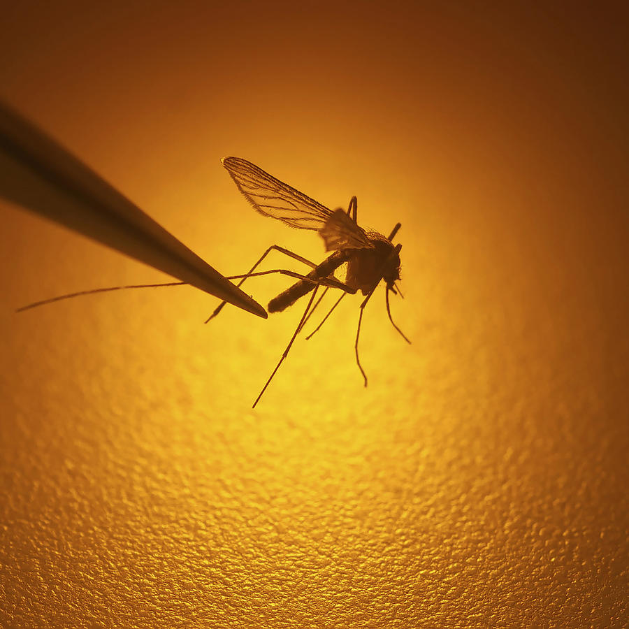 Imagen de archivo de un mosquito.