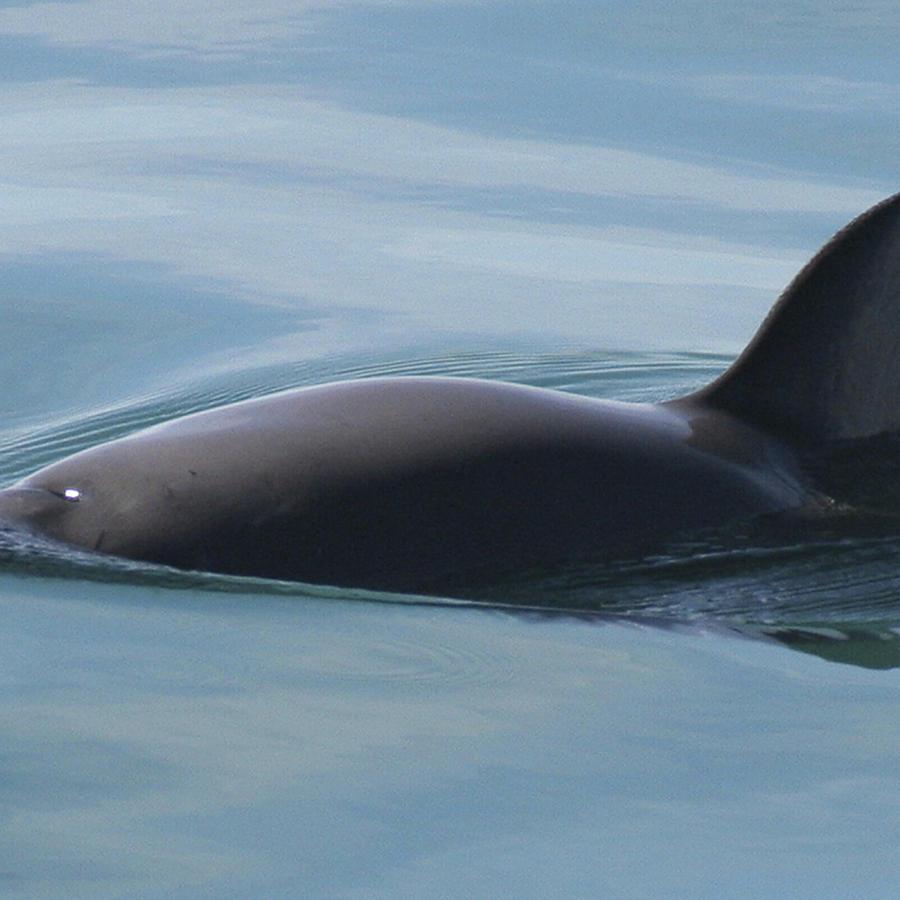 La vaquita marina, en una imagen provista por la Administración Nacional Oceánica y Atmosférica.