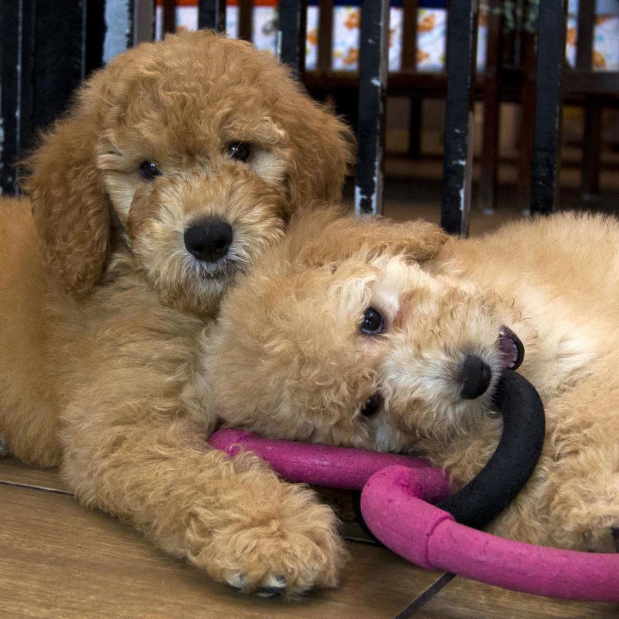 Un par de cachorros en una tienda de mascotas