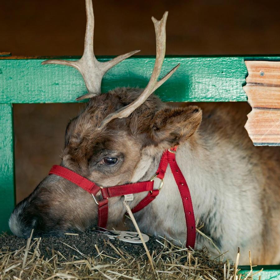 Vixen, uno de los renos de Santa Claus.