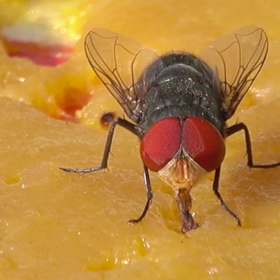 Larvas de moscas