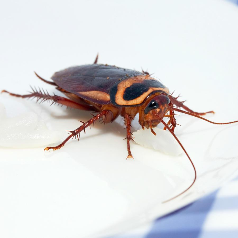 Cucaracha en plato sobre mantel cuadrille