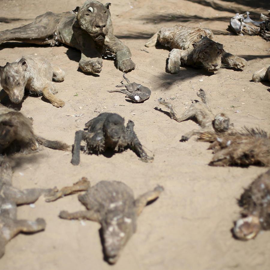 Animales muertos que el zoológico Jan Yunis en Gaza exhibía junto a los vivos. En vista de las precarias condiciones en que vivían los animales la ONG 'Four Paws' inició su rescate.