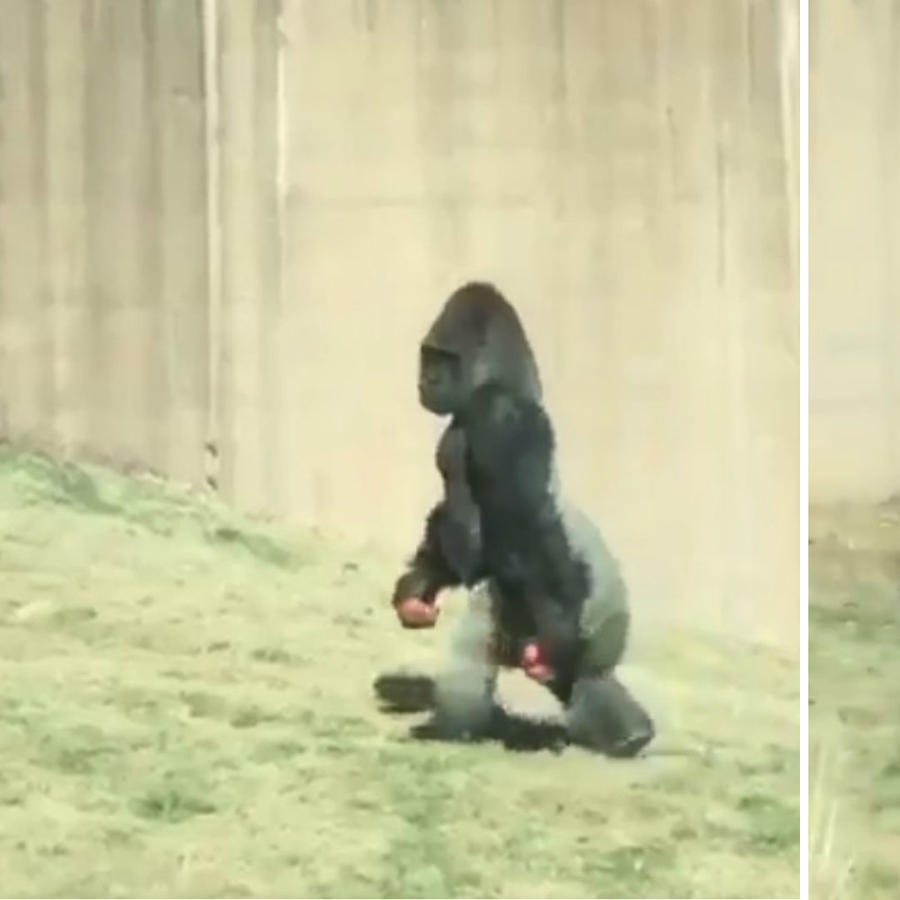 Gorila caminando erguido