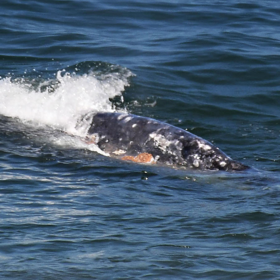 With beaches void of humans due to the coronavirus stay at home orders, whales and dolphins are swimming closer to shore.