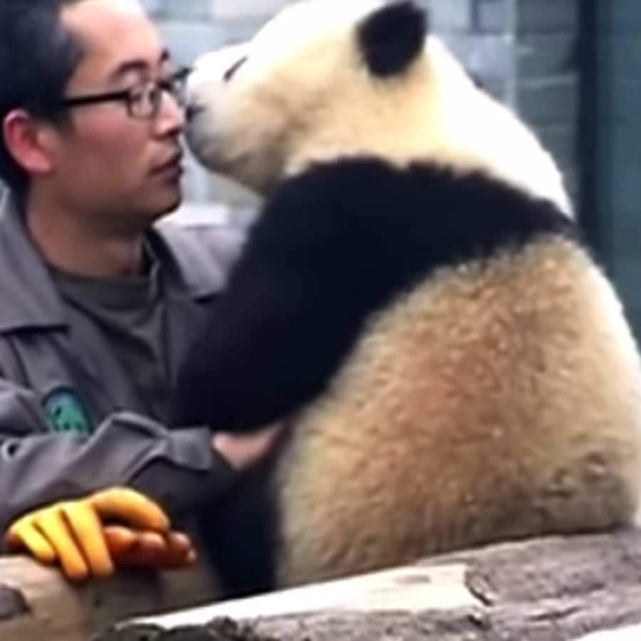 El osezno panda llamado Manyuemei besa a su cuidador antes de posar con él para una 'selfie'