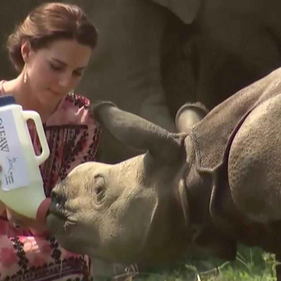 La duquesa de Cambridge Kate Middleton da biberón a un rinoceronte bebé en un parque de vida salvaje en India