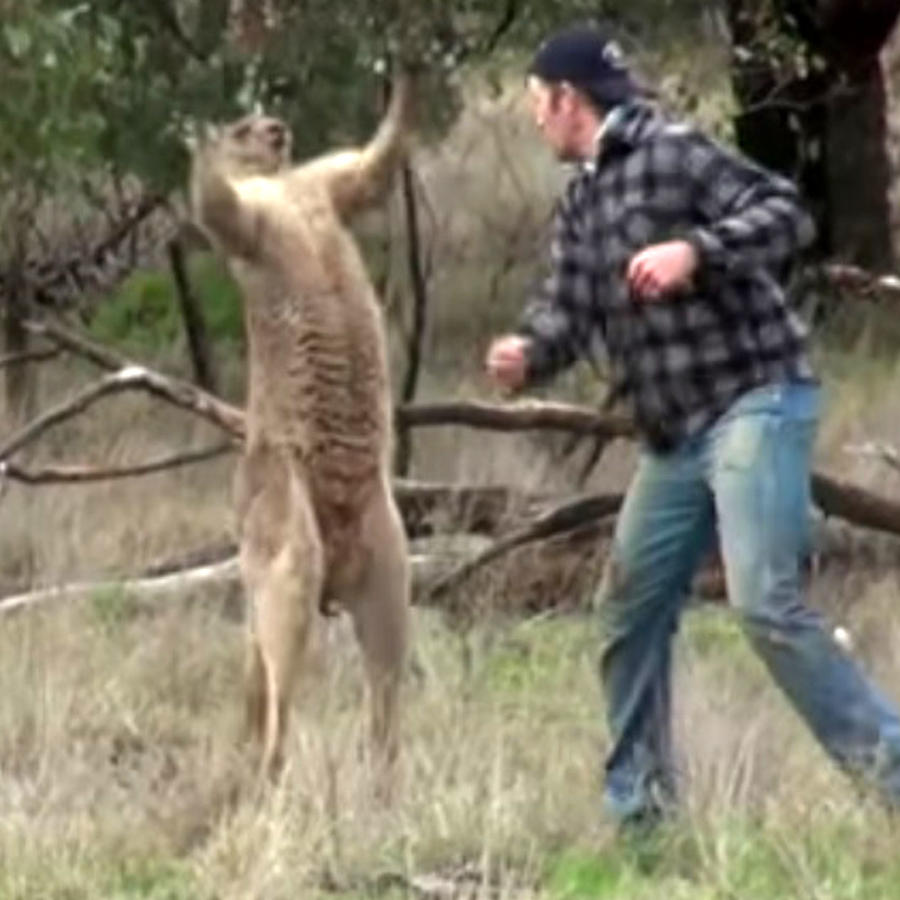 hombre golpeando canguro