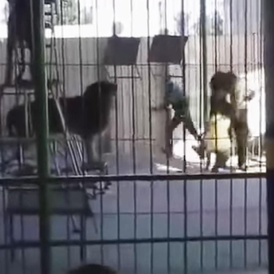 Un león ataca y mata a su domador durante una presentación