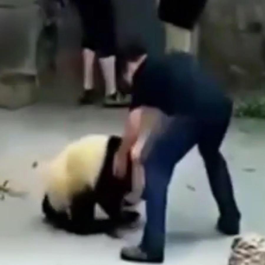 Osos pandas maltratados