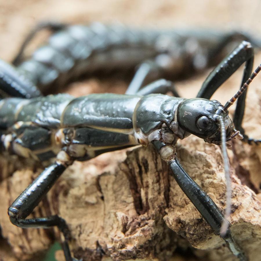 Insecto palo de la isla de Lord Howe