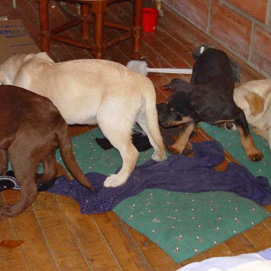 Foto de cachorros rescatados en Medellín, Colombia. Los canes iban a ser destinados a que les implantaran heroína líquida para traficarla