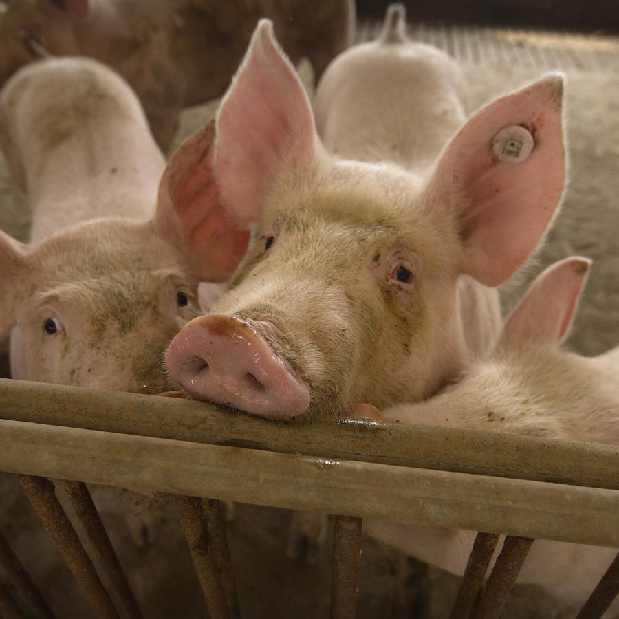 Imagen de archivo de cerdos.