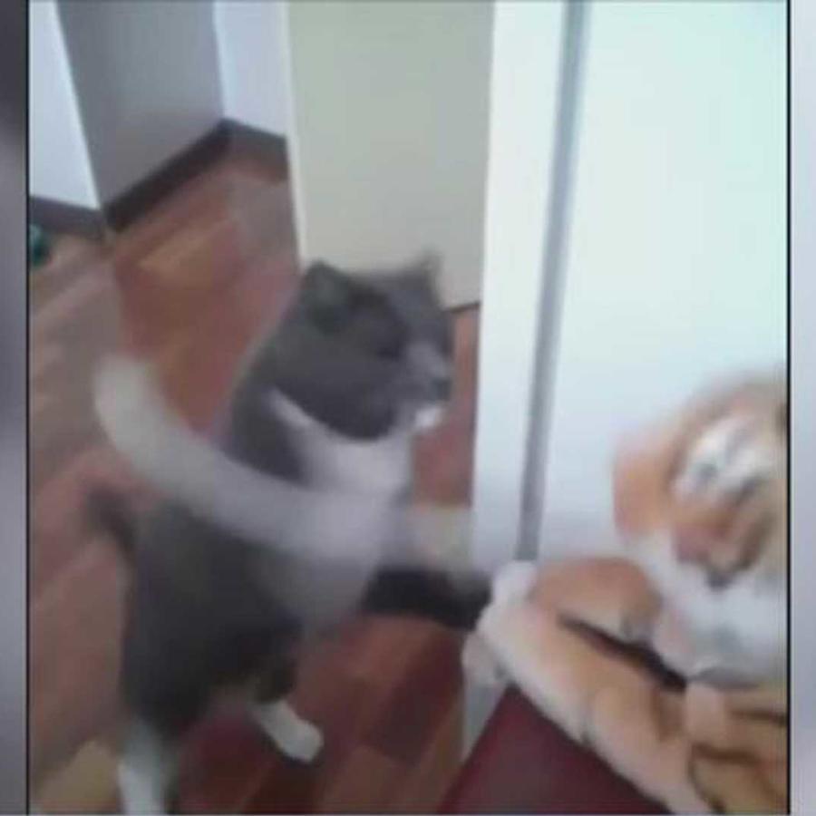 una gata se desquita con un tigre de peluche