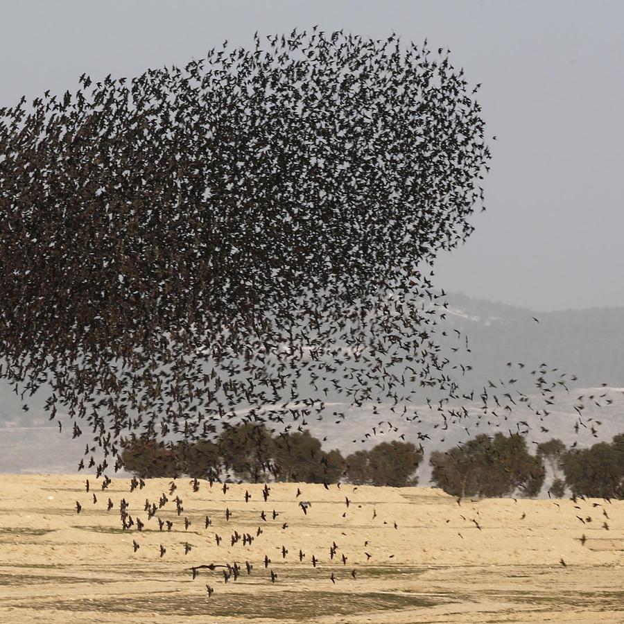 pajaros starling en israel