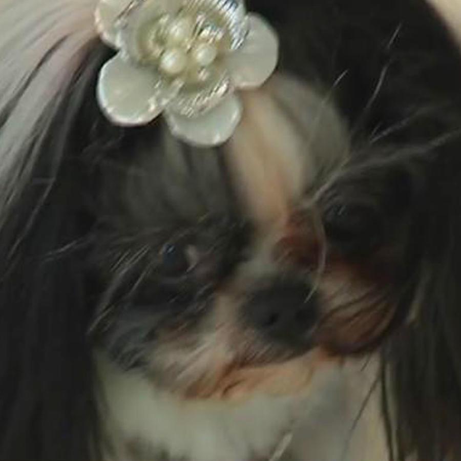 """Organizan un """"Prom"""" para mascotas en New York"""
