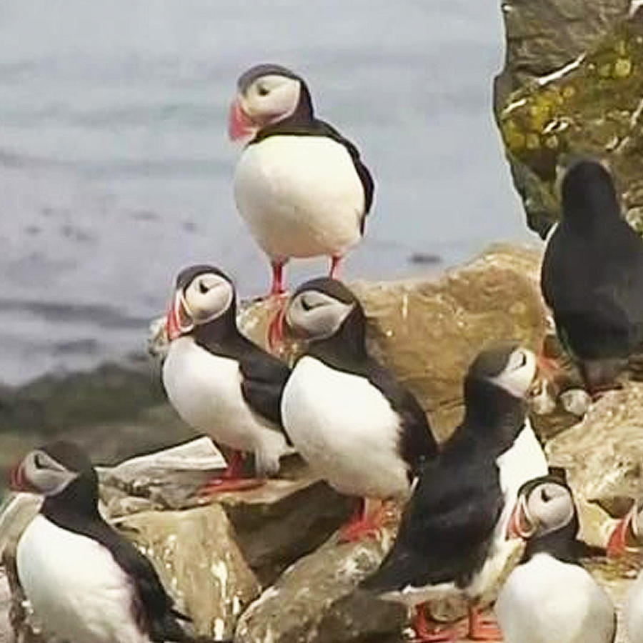 aves puffins
