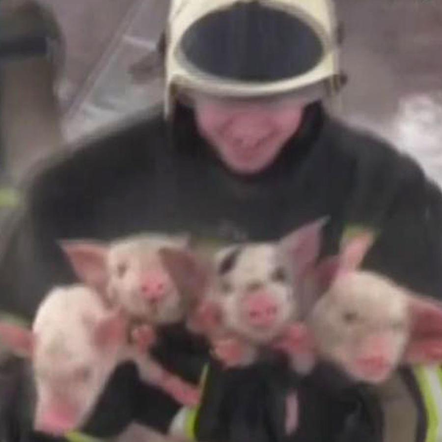 Salvan a más de 200 cerditos de incendio en una granja