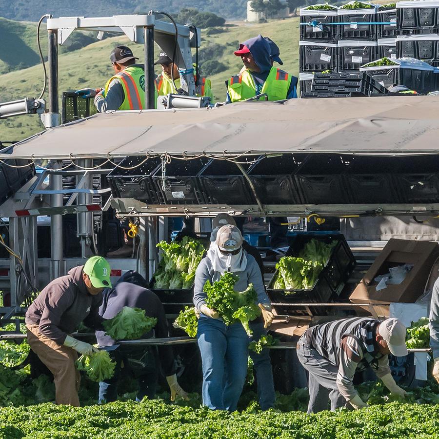 Se reduce la mano de obra agrícola por temor a ICE