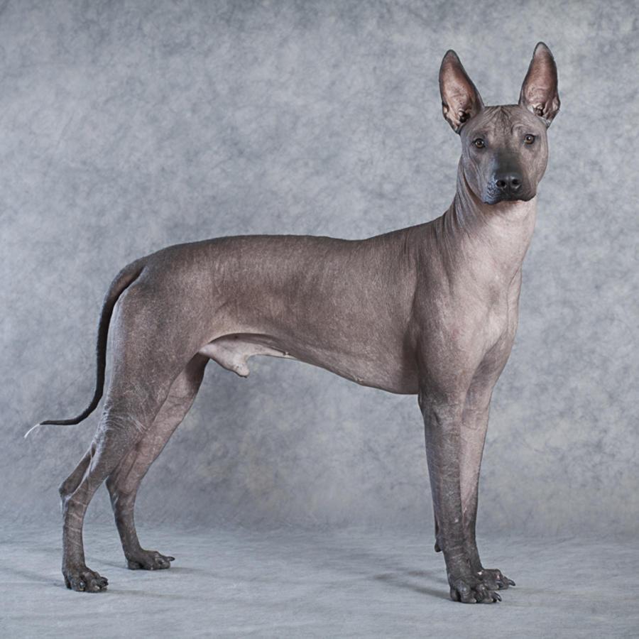 Xoloitzcuintle o Perro Azteca