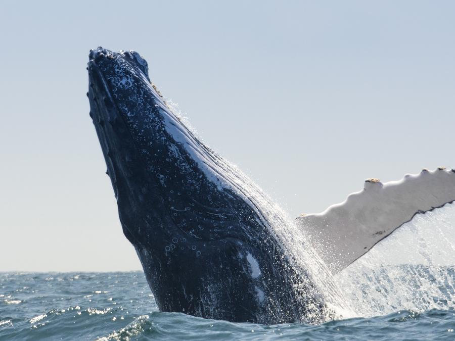 Ballena jorobada en el mar