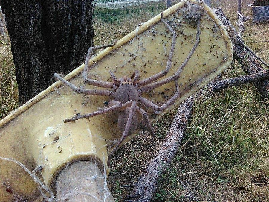 Gigantesca araña causa sensación en internet