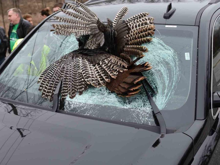 Pavo se estrella contra el parabrisas de un carro